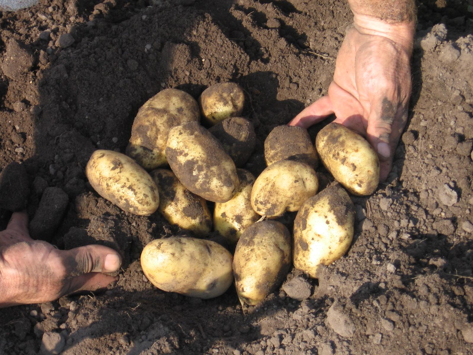 aardappel-rooien-02